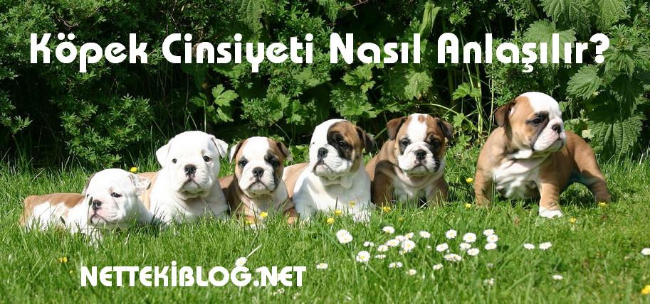 Köpek Cinsiyeti Nasıl Anlaşılır Netteki Blog
